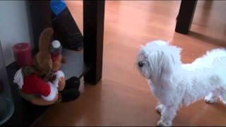 Perro maltes ladrando a muñeco navidad