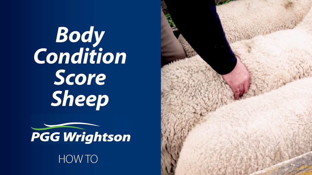 How to Body Condition Score Sheep
