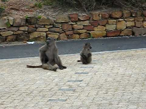 Baboons at the Cape