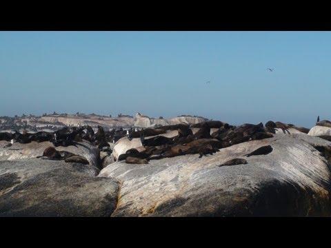 Cape Fur Seal – Hout Bay