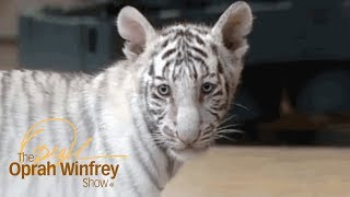 Oprah Meets Adorable Bengal Tigers | The Oprah Winfrey Show | Oprah Winfrey Network