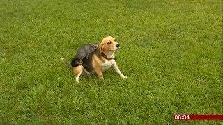 Possum & Beagle best friends (sweet & fun story) (Australia) - BBC News - 15th February 20