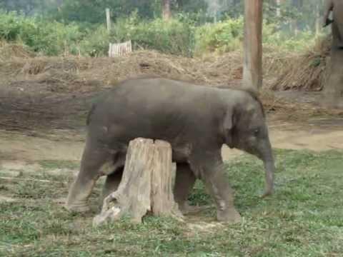 Слоник трётся об пенёк