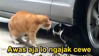 Kucing Berantem Lucu (Subtitle Indonesia)