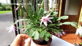 My Rhipsalidopsis gaertneri 'Pink Ice' Cactus in pink Flower