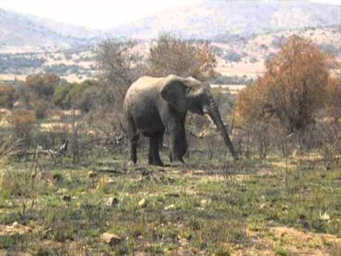 Pilanesberg National Park Elephants. South Africa.