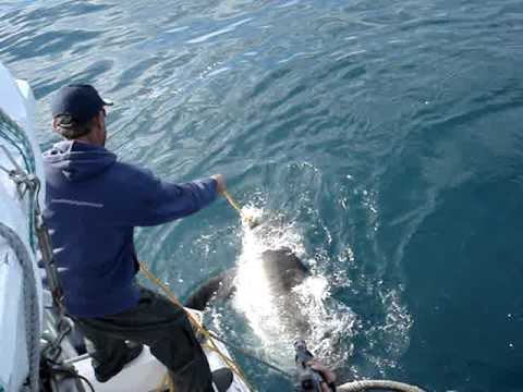 Great White Shark Cage diving, Hermanus – got the bait