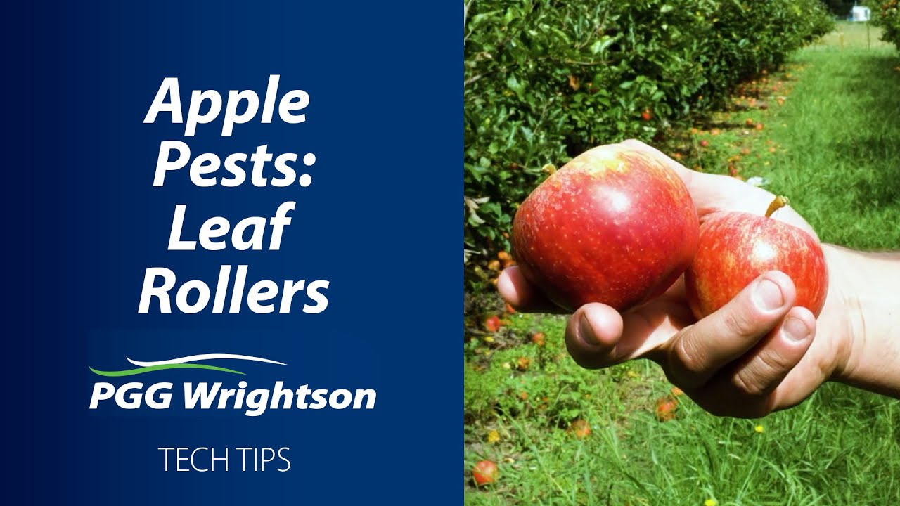 Apple Pests: Leaf Rollers