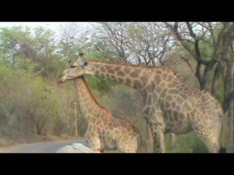 Giraffe mom nuzzeling baby in Zambia