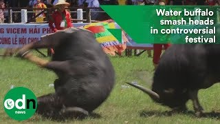 Water buffalo smash heads in controversial festival