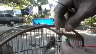 Colocando pepino pro coleiro sem gancho