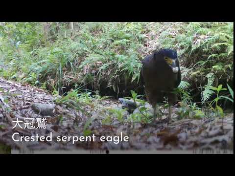 龍崎牛埔自然生態之美 2-5 大冠鷲