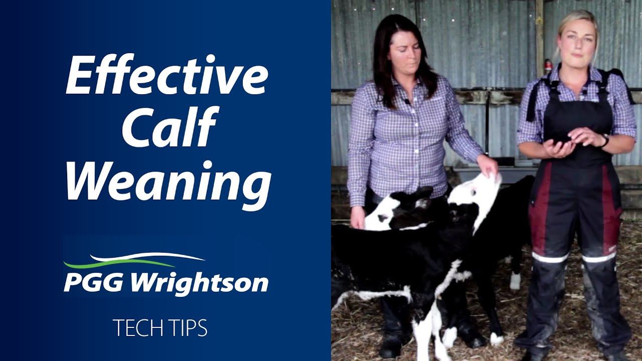 Effective Calf Weaning