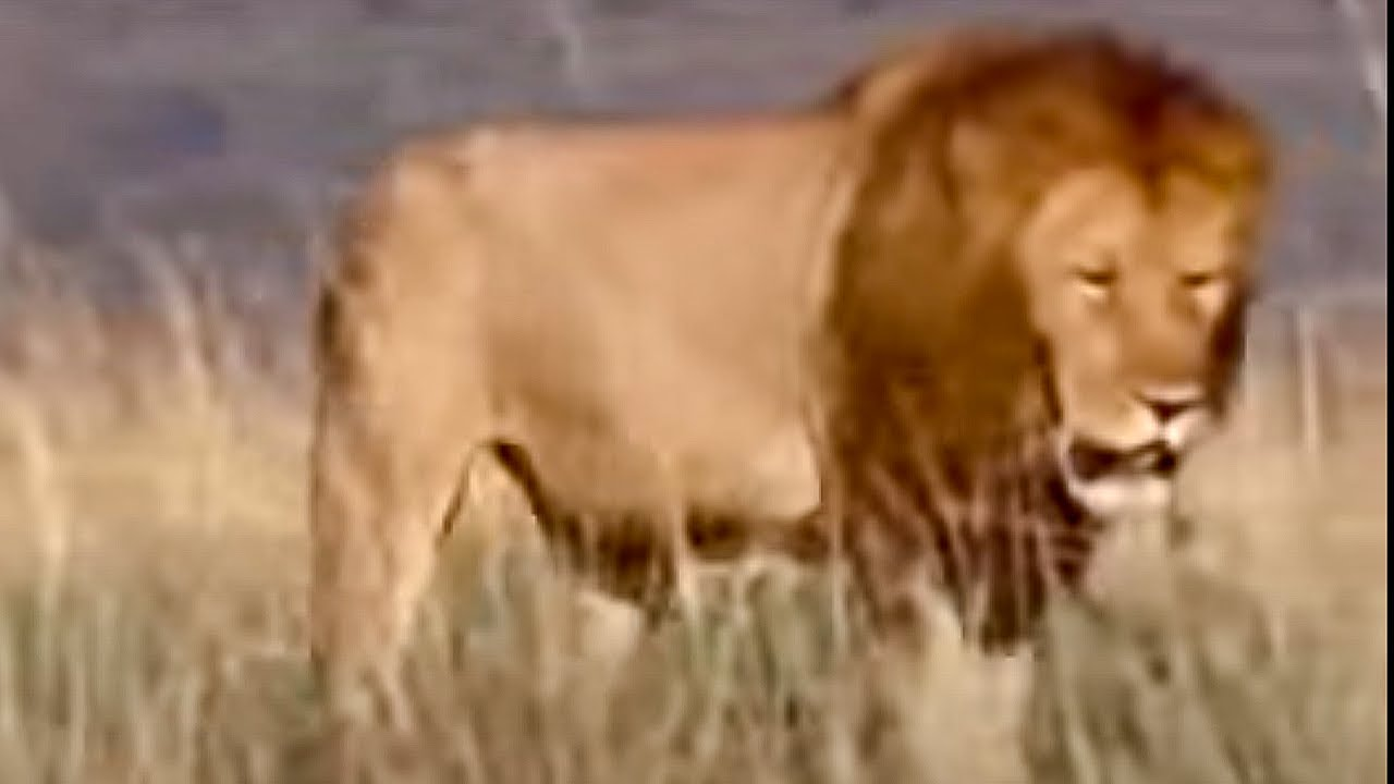 King lion pride in Africa - BBC wildlife