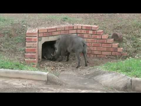 African Crusaders Warthog argument