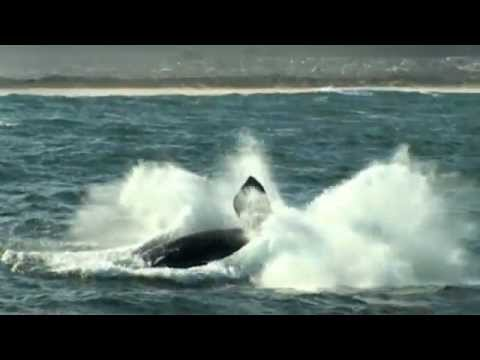 Whale Breaches and Close-ups in Hermanus – South Africa