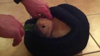 VERY CUTE Baby Mini Lop Rabbit HD (7 Weeks Old)