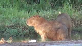 Capivaras no cio,  Hydrochoerus hydrochoeris, Fauna pantaneira, Mato Grosso do Sul,