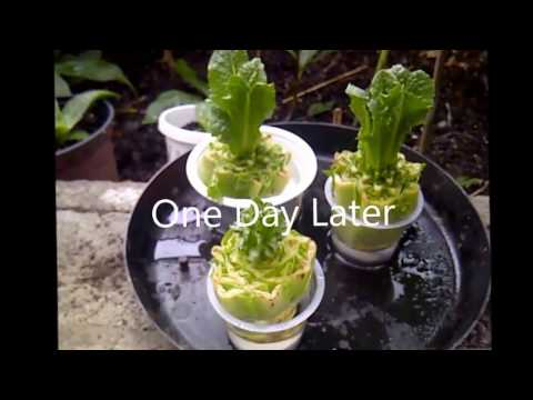 Growing New Food (Leaf Lettuce) from Left-Over Vegetable Scraps