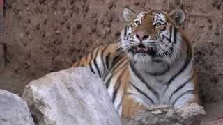 Siberian Tiger With Sounds