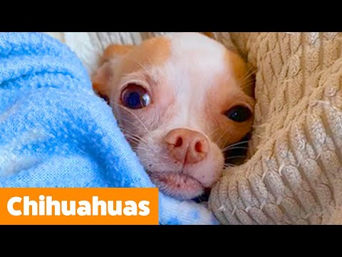 Cutest Silly Chihuahuas   Funny Pet Videos