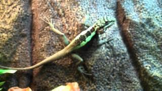 Male Chinese Tree Dragon Neon Dragon lizard Japalura Splendida
