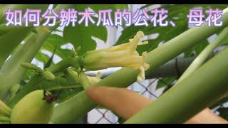 如何分辨木瓜的公花、母花?