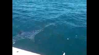 Big Mako Shark St. Pete Fl.