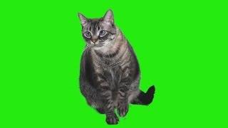 Green screen cat