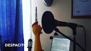 Bağıran Oyuncak Tavukla Despacito Şarkısı