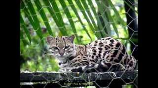 2012 Ecuador   Puyo, Yana Cocha, Centro de Rescate de Fauna, Tigrillos o Margay o Leopardus Weidii