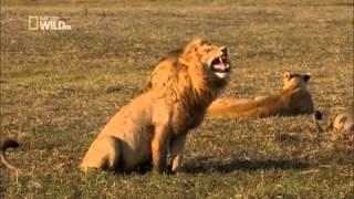 O leão dando risada