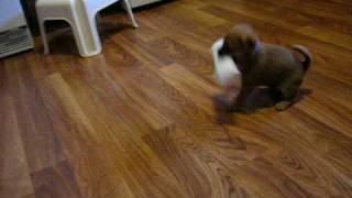 Puggle puppy Jasper