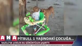 Pitbul 1 yaşındaki çocuğa   _Nazilli'de Çekilen Bu Görüntüler Şaşırttı