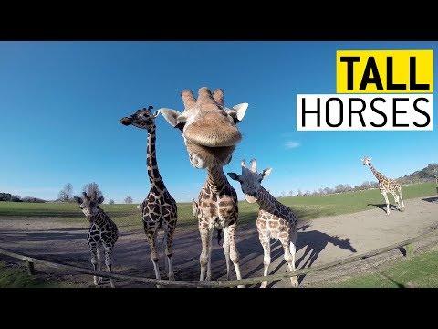 Faze tari cu girafe