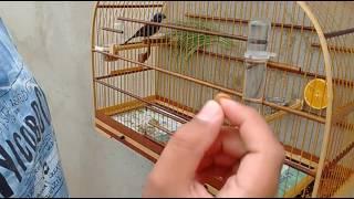 Meu Azulão pegando larva de tenébrio na minha mão