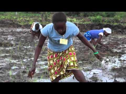 Liberia planting Rice