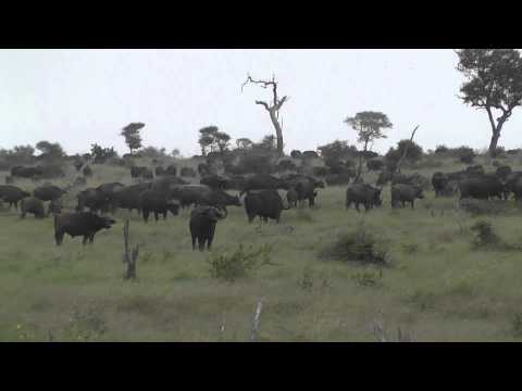 buffalos, Kruger, South Africa