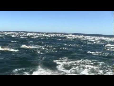 Killers Whales Hunt Dolphin Pod in South Africa