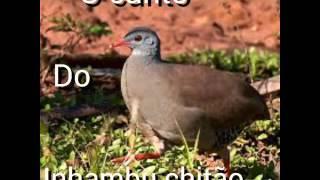 O canto do inhambu chitão.