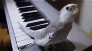 ♥ PASSARINHO CANTA MÚSICA ACOMPANHANDO PIANO - DEMAIS!!!!