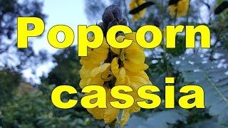 Senna didymobotrya – Popcorn Cassia HD Video 01