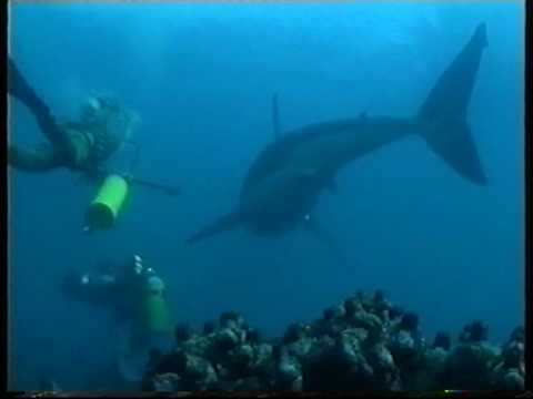 Diving/swimming with Great White Sharks Filmed for the First time (Carcharias the Great White 2000)