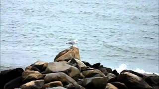Seagull Relaxing After Lunch