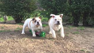 Mercy & Mr. Beefy - Englsih Bulldog Puppies For Sale
