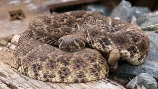 The sound of a western diamondback rattlesnake