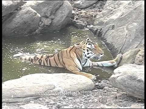Tiger ( Panthera tigris ) in water pool during hot dry summer