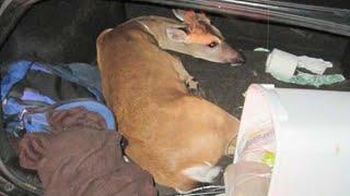 3 endangered deer found tied, struggling in car
