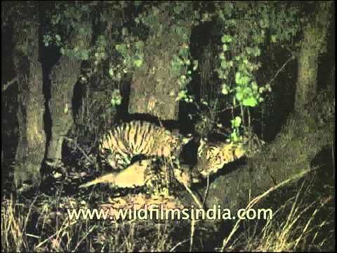 Tiger family feasting at night in Indian central jungle