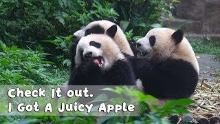 'Check It out. I Got A Juicy Apple~ Lucky Me!' -- Panda Qi Yi | iPanda